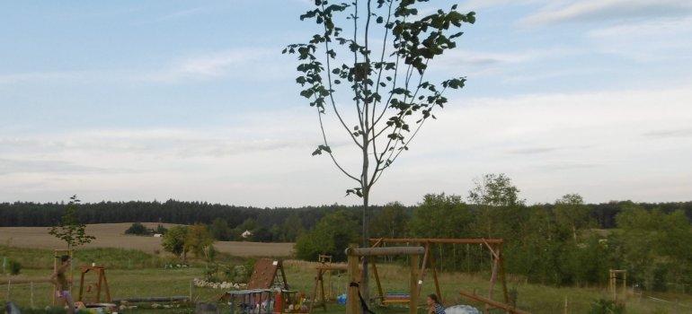 Výsadba lip u dětského hřiště